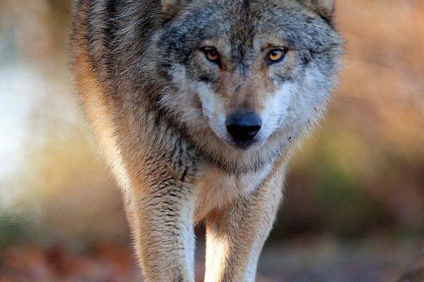 Informacja w zakresie postępowania w sytuacjach konfliktowych związanych z udziałem wilka na terenach miast i wsi.
